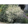 Vrba FloraSelf Salix integra 'Hakuro Nishiki' 60-80 cm květináč 3 l