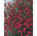 Hvozdík zahradní Dianthus caryophyllus 'Pink Kisses' Ø 11 cm květináč