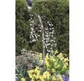 Vrba jíva FloraSelf Salix caprea 'Pendula' 60-80 cm květináč 3 l