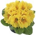 Primule Hetor květináč Ø 10,5 cm, různé barvy