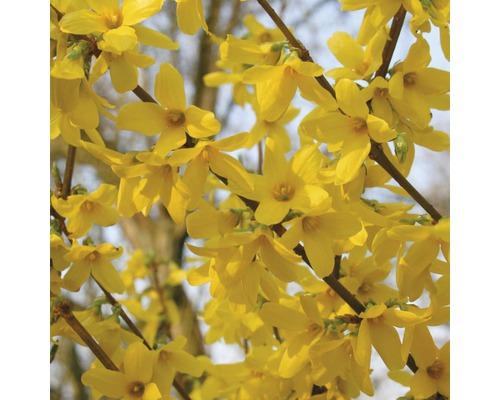 Zlatice prostřední FloraSelf Forsythia intermedia 'Week End'® 80-100 cm květináč 10 l