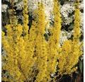 Zlatice prostřední FloraSelf Forsythia intermedia 'Goldrausch' 50-60 cm květináč 4 l