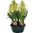 Hyacint FloraSelf Hyacinthus orientalis 'White Pearl' Ø 16 cm květináč