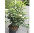 Bobkovišeň portugalská FloraSelf Prunus lusitanica 'Angustifolia' 60-80 cm květináč 5 l