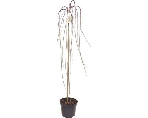 Vrba jíva na kmínku FloraSelf Salix caprea 'Pendula' 100-110 cm