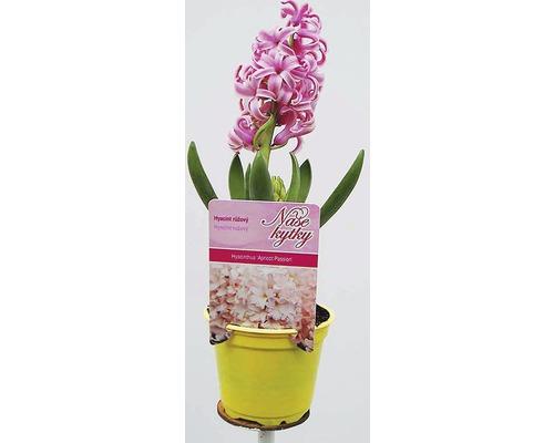 Hyacint rychlené cibuloviny květináč Ø 9 cm různé druhy