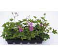 Muškát převislý jednoduchý Pelargonium peltatum 10 pack různé druhy