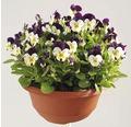 Maceška drobnokvětá Viola květináč Ø 21 cm různé druhy