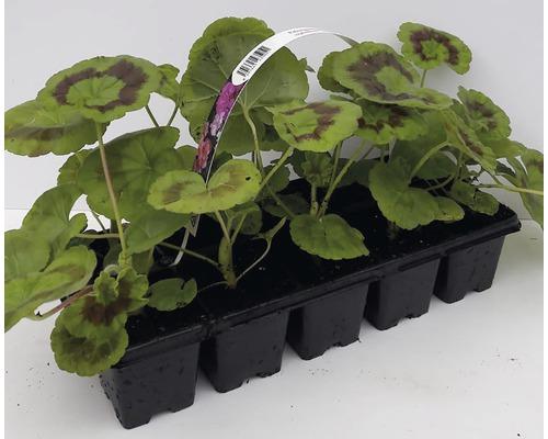Pelargonium zonale 10pack, různé druhy