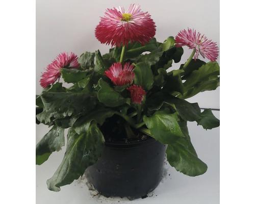 Bellis Habanera Ø 11 cm květináč, různé druhy