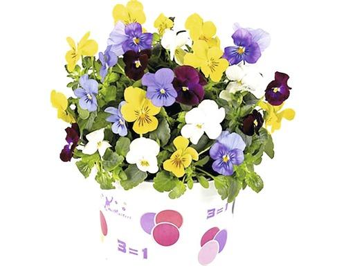 Maceška drobnokvětá tříbarevná Viola cornuta Ø 12 cm květináč