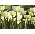 Vliesová fototapeta Bílé tulipány MS-5-0127