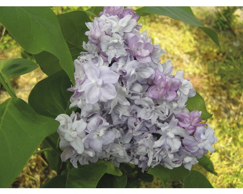 Šeřík obecný FloraSelf Syringa vulgaris 'Katherine Havemeyer' 40-60 cm květináč 3 l