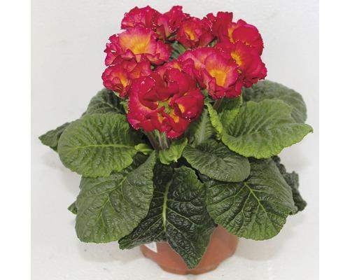 Primula plnokvětá květináč Ø 10,5 cm, různé barvy