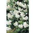Pustoryl, nepravý jasmín FloraSelf Philadelphus 'Minnesota Snowflake' 60-80 cm květináč 4 l
