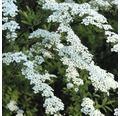 Tavolník FloraSelf Spiraea arguta 80 cm květináč 4 l