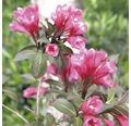 Vajgélie FloraSelf Weigela florida 'Wine and Roses' 40-60 cm květináč 5 l