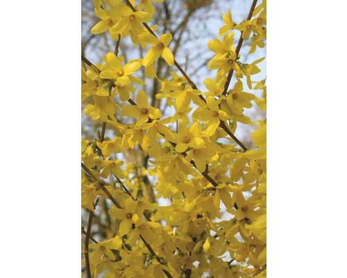 Zlatý déšť zlatice prostřední FloraSelf Forsythia intermedia 'Week End'® 60-80 cm květináč 4 l