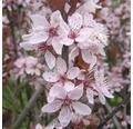 Slivoň myrobalán FloraSelf Prunus cerasifera 'Nigra' 40 cm květináč 5 l