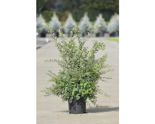 Tavolník nipponský FloraSelf Spiraea nipponica 'Snowmound' 50-60 cm květináč 4 l