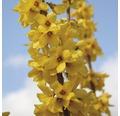 Zlatice prostřední, zlatý déšť FloraSelf Forsythia intermedia 'Goldrausch' 80-100 cm květináč 10 l