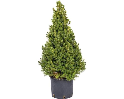 Vánoční strom v kontejneru Picea Glauca conica 70/80 CO7,5l