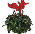 Brambořík Cyclamen květináč Ø 12 cm, různé barvy