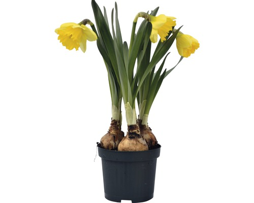Narcis FloraSelf Narcissus pseudonarcissus 'Kiss Me' Ø 9 cm květináč