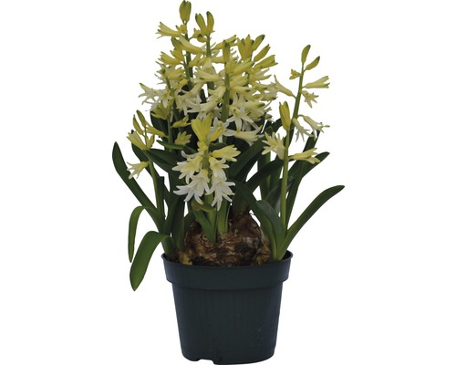 Hyacint FloraSelf Hyacinthus orientalis 'Blue Star' Ø 12 cm květináč bílý