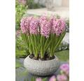 Hyacint FloraSelf Hyacinthus orientalis 'Pink Pearl' Ø 16 cm květináč