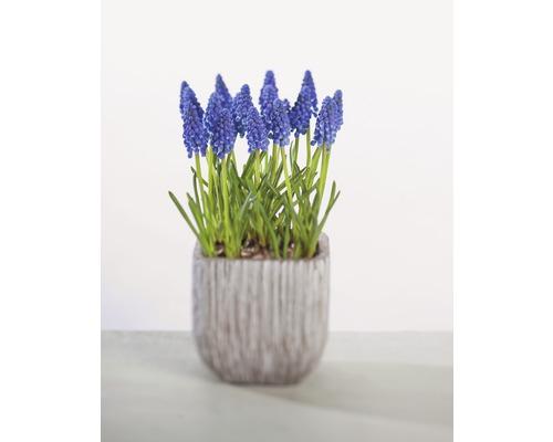Modřenec FloraSelf Muscari botryoides 'Armeniacum' Ø 9 cm květináč