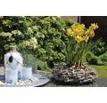 Narcis FloraSelf Narcissus pseudonarcissus 'Jet Fire' Ø 9 cm květináč