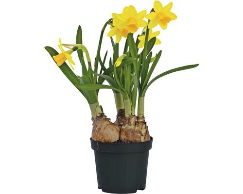 Narcis FloraSelf Narcissus pseudonarcissus 'Tete a tete' Ø 9 cm květináč