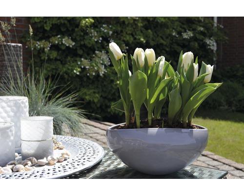 Tulipán FloraSelf Tulipa x Hybride 'Calgary' Ø 9 cm květináč
