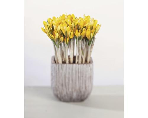 Krokus FloraSelf Crocus flavus Ø 12 cm květináč