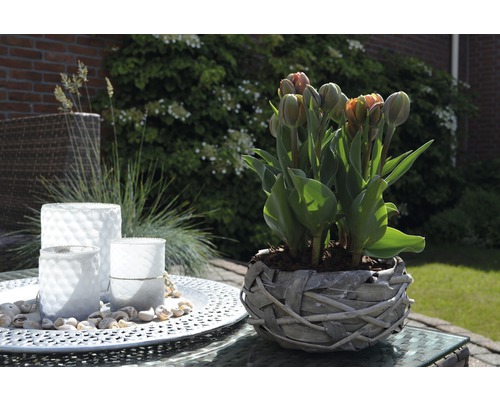 Tulipán FloraSelf Tulipa x Hybride 'Orange Princess' Ø 9 cm květináč