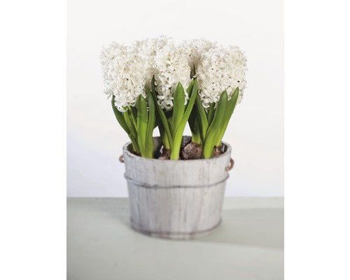 Hyacint FloraSelf Hyacinthus orientalis 'White Pearl' Ø 12 cm květináč
