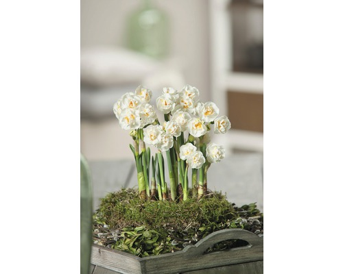 Narcis FloraSelf Narcissus pseudonarcissus 'Bridal Crown' Ø 12 cm květináč