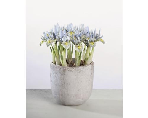 Kosatec síťkovaný FloraSelf Iris retuculata 'Katharina Hotchkin' Ø 12 cm květináč