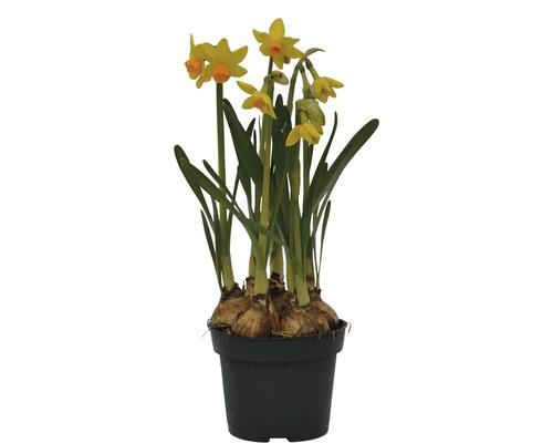 Narcis FloraSelf Narcissus pseudonarcissus 'Jet Fire' Ø 12 cm květináč